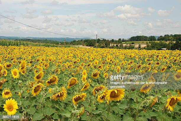 The sunflowers plantation