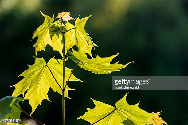 Norway Maple Stock Photos And Pictures Getty Images - Norway maple uses
