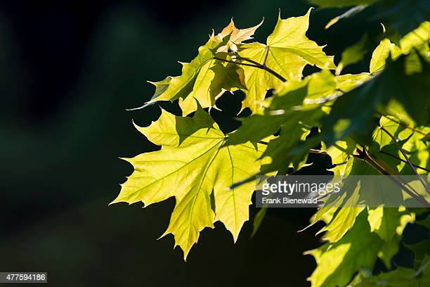 BAD SCHANDAU SAXONY GERMANY The sunlit leaves of Norway maple