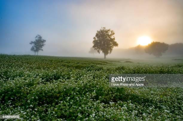 The sunrise of buckwheat fields