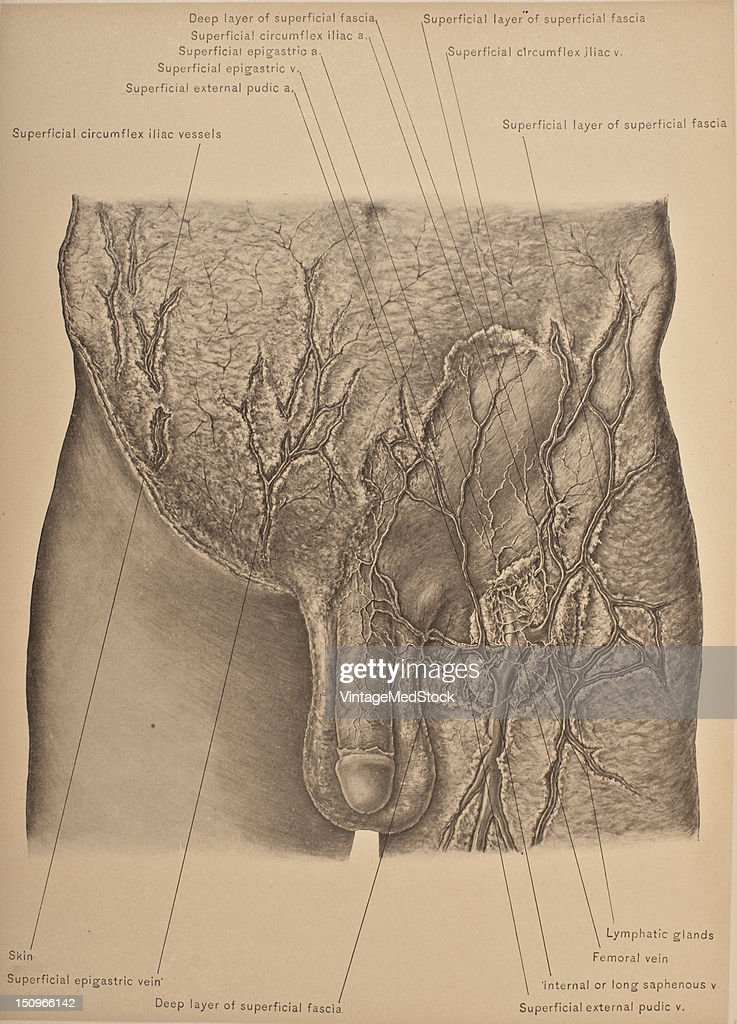 The superficial fascia of the abdomen continuous with the superficial fascia of the neighboring parts consists of two layers which are readily...