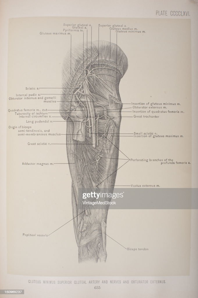 The superior gluteal nerves arises from the lumbosacral cord and the first sacral nerve 1903 From 'Surgical Anatomy The Treatise of the Human Anatomy...