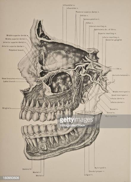 The superior maxillary nerve is a sensory nerve 1899 From 'The Treatise of the Human Anatomy and Its Applications to the Practice of Medicine and...