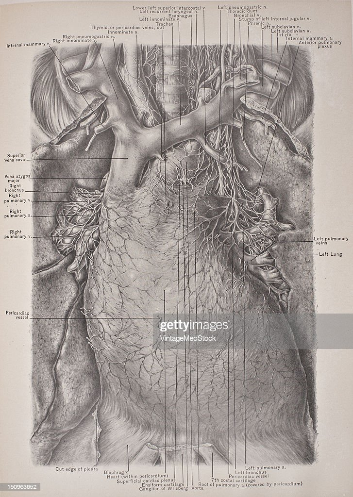 The superior mediastinum is that portion of the interpleural space which lies between the manubrium sterni in front and the upper thoracic vertebrae...