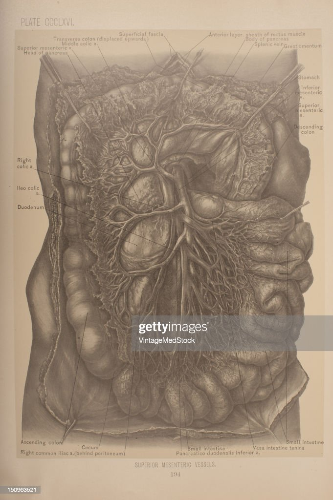 The superior mesenteric vessel is a blood vessel that drains blood from the small intestine 1903 From 'Surgical Anatomy The Treatise of the Human...
