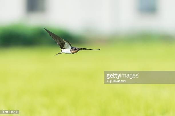 The swallow which flies in a rice field top