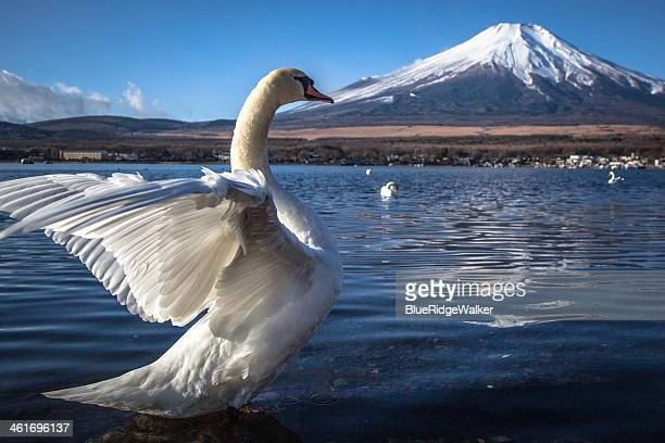 The swan which flutters, and Mt. Fuji