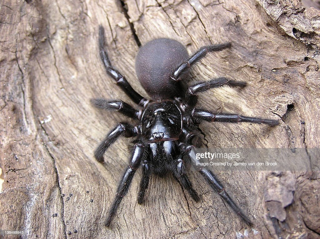 The Sydney Funnel Web spider