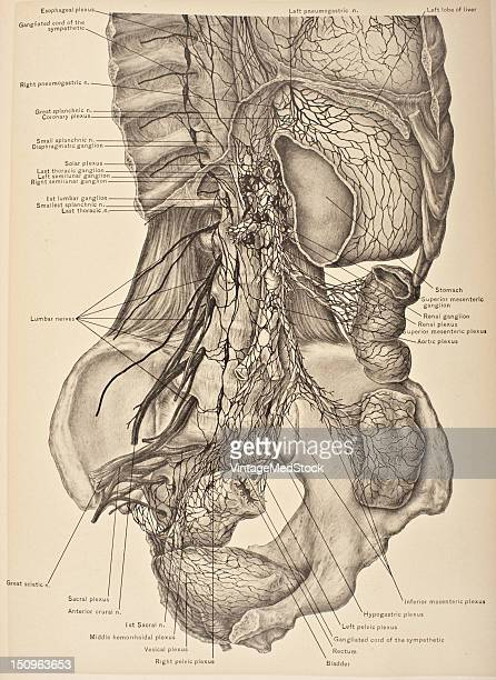 The sympathetic system of cords and ganglia enters the abdomen behind the internal arcute ligaments which span the psoas magnus muscles or through...