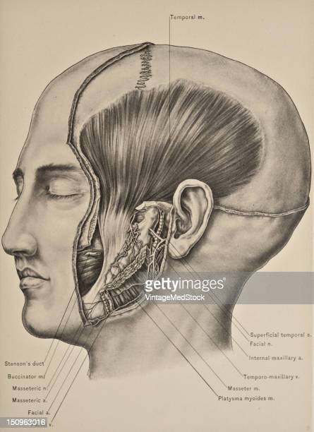 The temporal muscle broad flat and triangular is situated on the side of the head and occupies the temporal fossa 1899 From 'The Treatise of the...