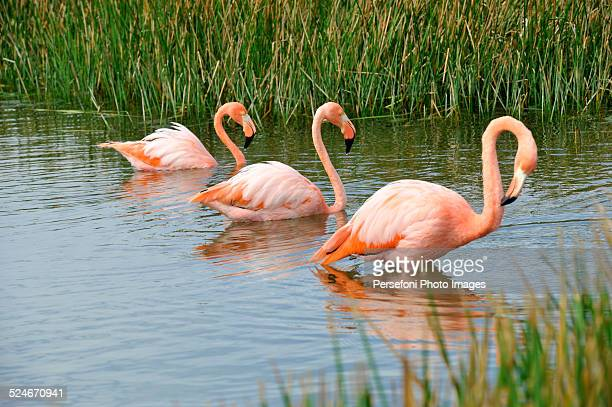 The three Flamingos