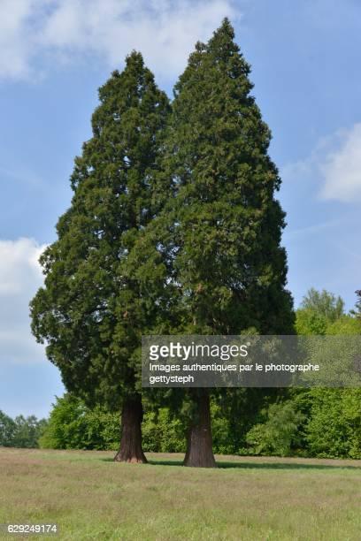 The three giant sequoia trees