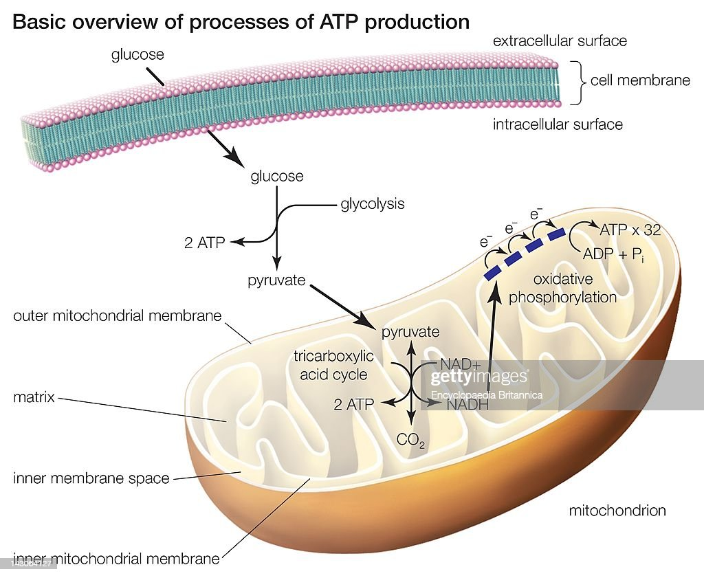 The Three Processes Of Atp Production Include Glycolysis The Tricarboxylic Acid Cycle And Oxidative Phosphorylation