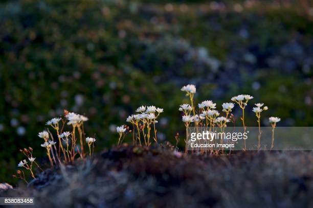 The Threetoothed Saxifrage in Greenland grows on dry sandy ground and on rocky slots from July to August This one was found on the Sermermiut in...