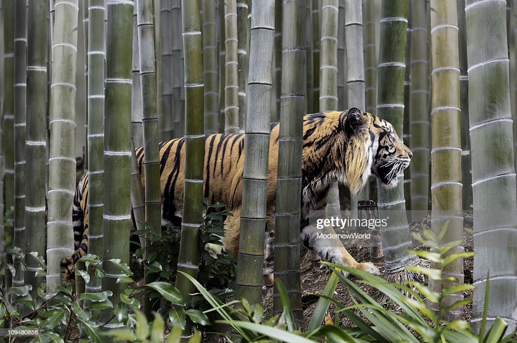 The tiger in the clump of bamboo : Stock Photo