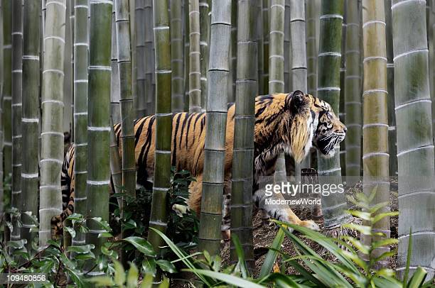 The tiger in the clump of bamboo
