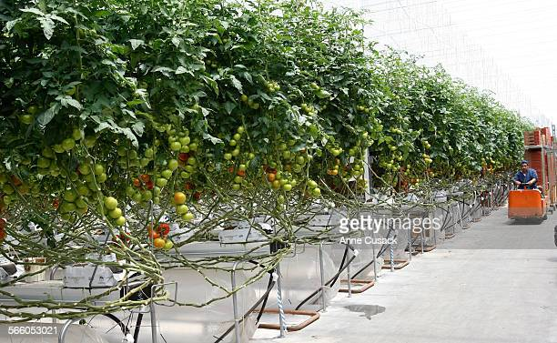 The tomato plants grown using hydroponics as Houweling Nurseries Ltd in Camarillo has created a state of the art environmentally efficient hot house...