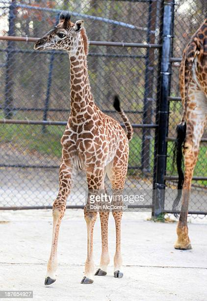 The Toronto Zoo introduced their new female Masai giraffe calf today called Mstari The baby was put on display with its mom Twiga a 23 year old Masai...