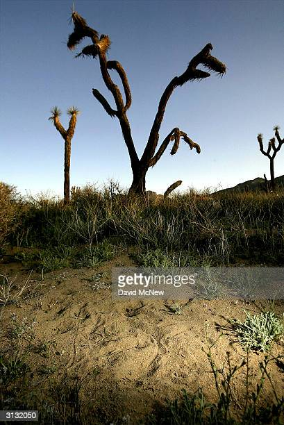 The tracks of small animals are left in the sand near a dead Joshua tree on March 25 2004 in Joshua Tree National Park California Recent drought...