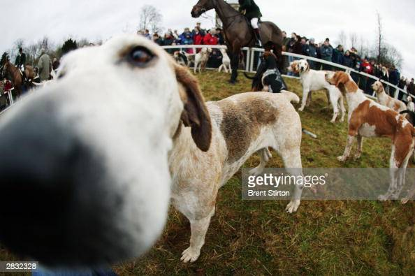 The traditional fox and hound hunt takes place on boxing day December 26 2003 in Gloucestershire England Despite the rain many countryside supporters...
