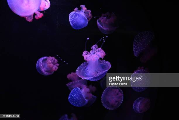 The translucent Whitespotted jellyfish lacks respiratory excretory and circulatory systems and has stinging cell or Nematocysts used to capture food...