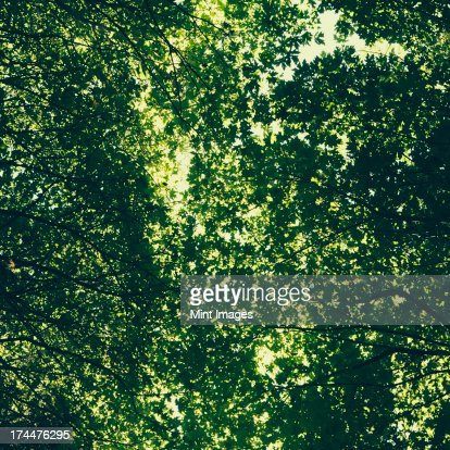 The tree canopy of big maple trees with lush green leaves, viewed from the ground.