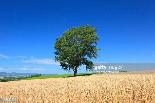 The tree of Philosophy, Hokkaido
