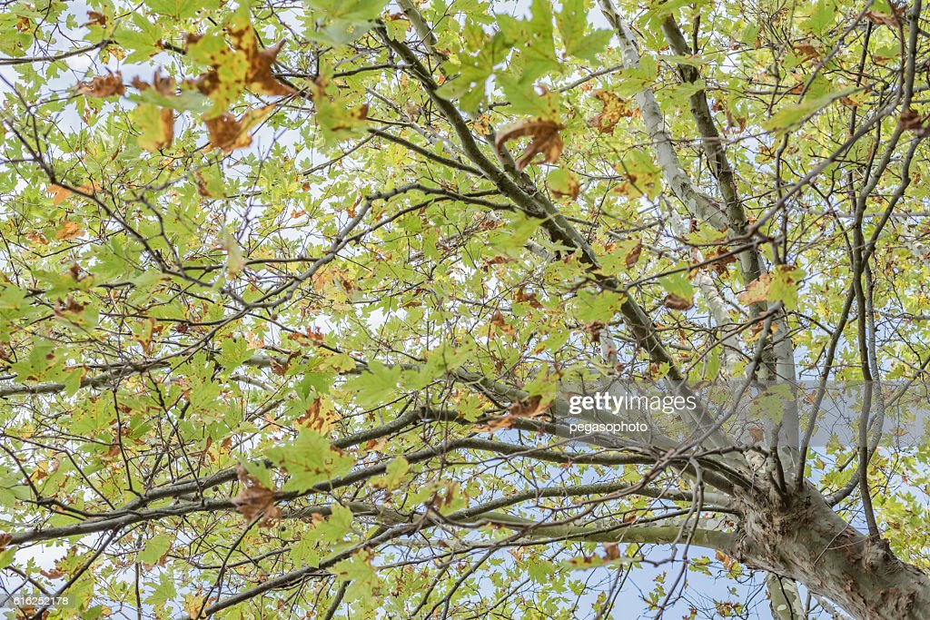 The tree with large green leaves : Foto de stock