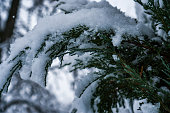 The trees in the forest after the snowfall are completely covered with snow.