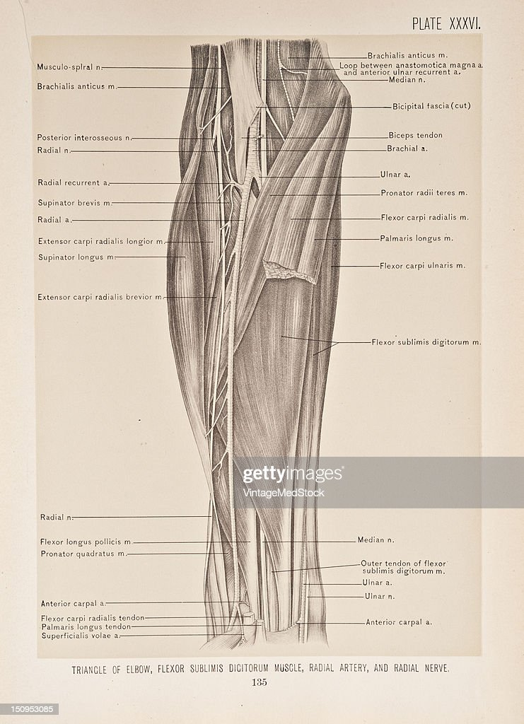 The trinangle at the bend of the elbow upon the removal of the deep fascia a triangle is exposed at the bend of the elbow 1899 From 'The Treatise of...