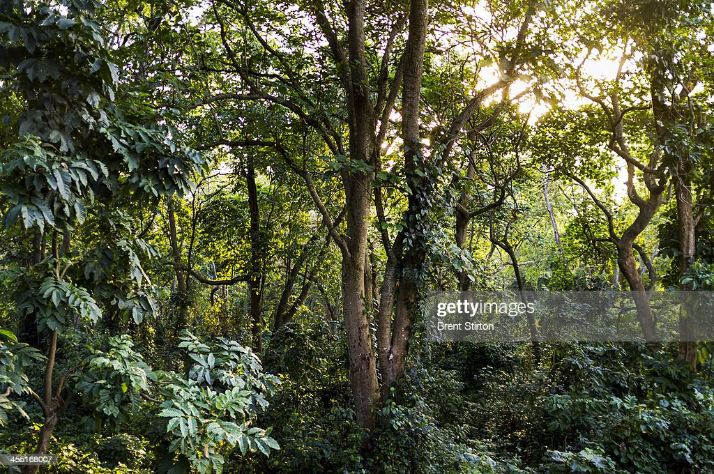 The tropical forest surrounding ICCN Congolese Conservation Ranger headquarters in Virunga National Park on March 9 2012 in DR Congo UK company Soco...