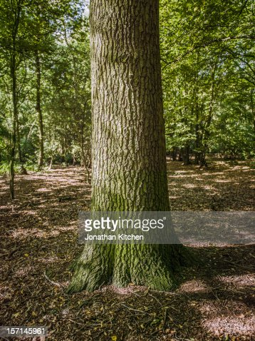 The trunk of a British ash tree