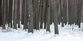 The trunks of trees in the winter forest. Pine forest in winter.