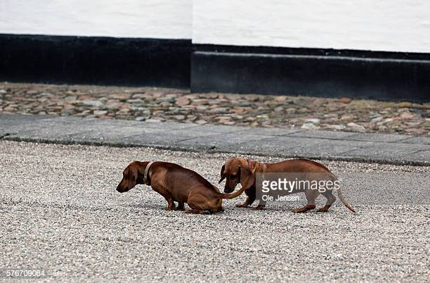 The Two royal Dachshund's Helike and Tillice during Queen Margrethe's photo call at their arrival to their summer residence Graasten Slot in Graasten...