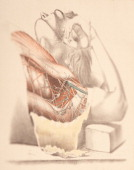 The two sets of muscles are displayed in the dissection one bounding the armpit before and behind the other lying in front and back of the humerus...