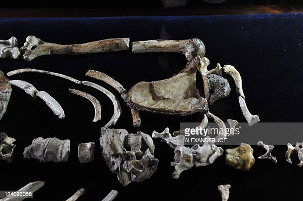 The upper body of the 'Sediba Fossil' the remains of a hominin discovered by Professor Lee Berger an American who is a professor at South Africa's...