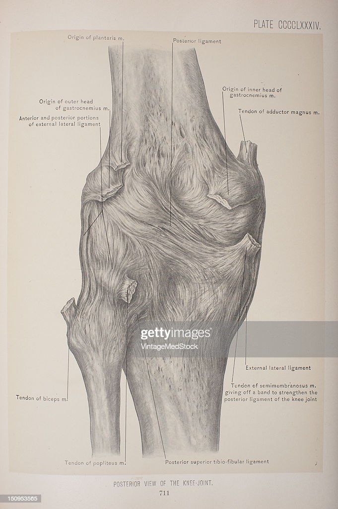 The upper threequarters articulates with the femur and is subdivided into a medial and a lateral facet by a vertical ledge which varies in shape 1903...