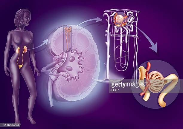 The Urinary System From The Kidney To The Glomerulusrepresentation From Left To Right Urinary System In A Woman's Silhouette Structures Of The Kidney...