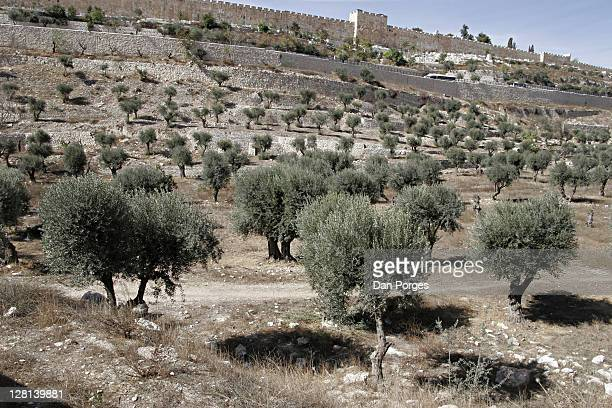The Valley of Kidron and olive groves. This valley separates the Old City of Jerusalem and Mount of Olives to its east. Israel.