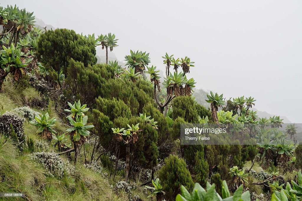 The vegetation on the sloop of Mount Nyiragongo The Nyiragongo is an active stratovolcano with an elevation of 3470 metres in the Virunga National...