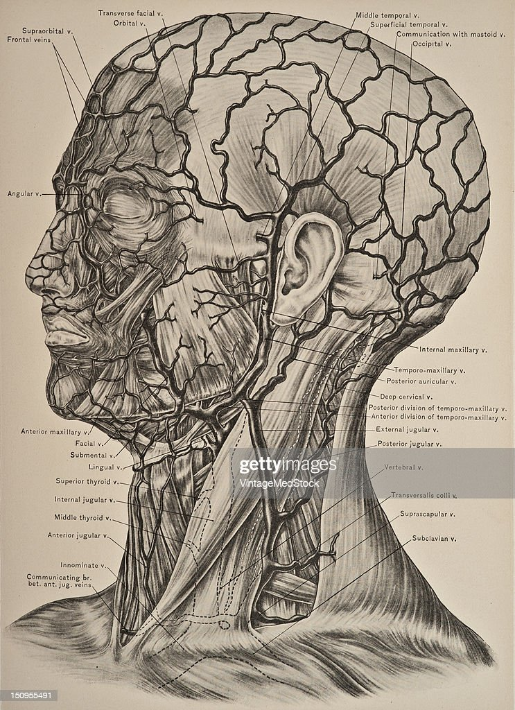 The veins of the scalp accompany the corresponding arteries with the exception of the supraorbital and frontal veins which unite to form the angular...