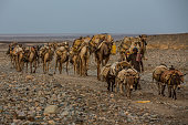The village of Ahmed Ela where start the interminable caravans of camels laden with salt blocks to bring in markets around the horn of Africa