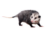 The Virginia or North American opossum, Didelphis virginiana, isolated on white background