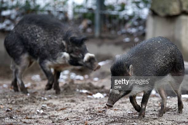 The Visayan warty pigs Samar and Panay run at their enclosure on January 11 2013 at the Berlin zoo The pigs priginating from the Polish Poznan Zoo...