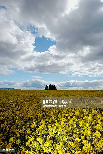 The vivid yellow of a field of oilseed rape stands out against the blue sky May 24 2004 in Perthshire Scotland A team of UK Government advisers has...