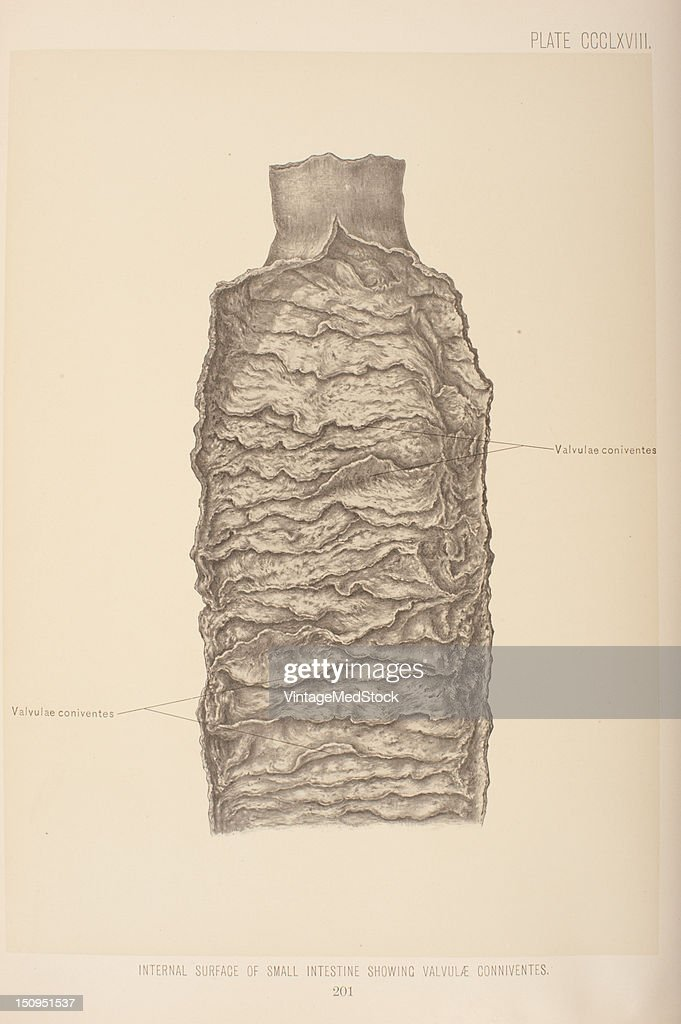 The wall of the small intestine Is made up of four coats the serous muscular submucous and mucous 1903 From 'Surgical Anatomy The Treatise of the...