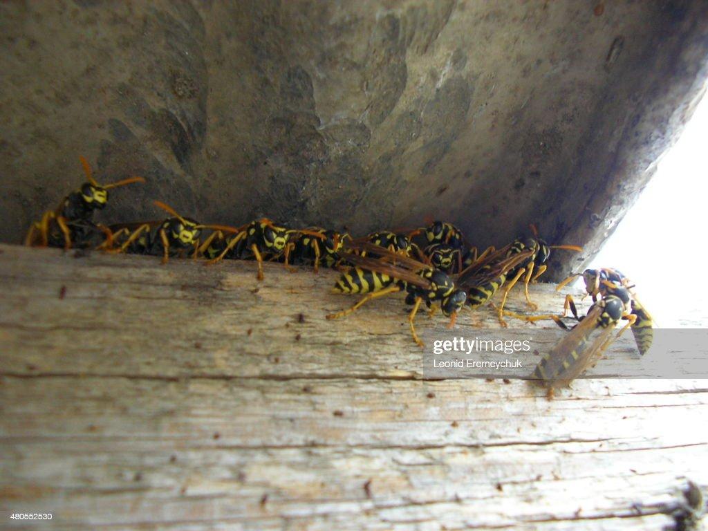 O wasps : Foto de stock