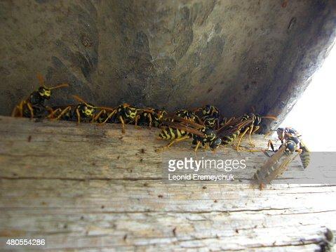 El wasps : Foto de stock