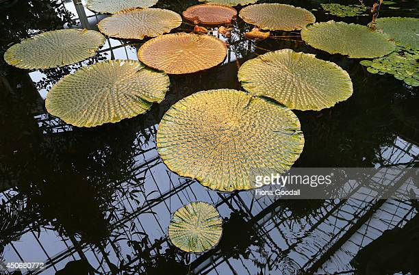 The Water Lily pond at the Auckland Domain Wintergardens on June 16 2014 in Auckland New Zealand The Winter Garden at the Auckland Domain was...