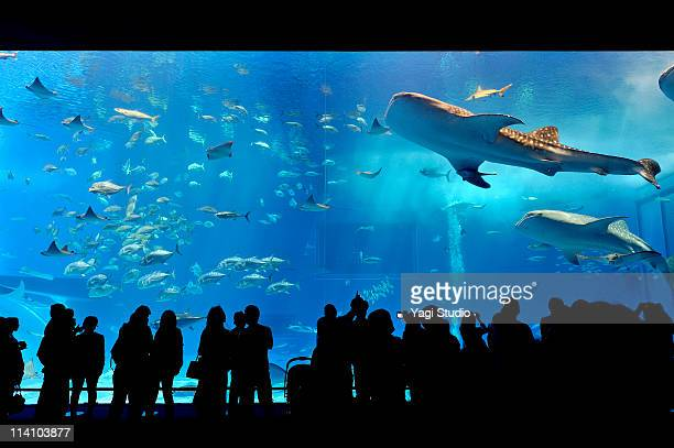 The water tank of Okinawa Churaumi Aquarium